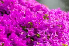 Flores púrpuras hermosas de la buganvilla en un parque público imagen de archivo