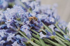 Flores púrpuras hermosas de la lavanda y una abeja Foto de archivo libre de regalías