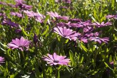 Flores púrpuras hermosas de Osteospermum en el jardín Fotografía de archivo libre de regalías