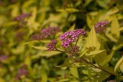 Flores púrpuras hermosas en un fondo del follaje amarillo primer imagen de archivo