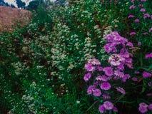 Flores púrpuras hermosas que florecen en naturaleza fotografía de archivo libre de regalías