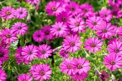 Flores púrpuras, hierba de la manzanilla, papel pintado hermoso Foto de archivo libre de regalías