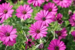 Flores púrpuras, hierba de la manzanilla, papel pintado hermoso Imagen de archivo
