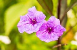 Flores púrpuras macras Imágenes de archivo libres de regalías