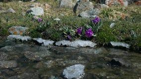 Flores púrpuras por el vídeo montañoso del vapor 4K de la primavera fría, Kirguistán almacen de metraje de vídeo