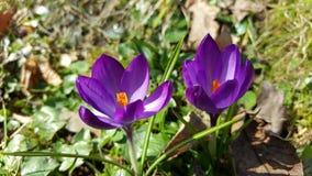 Flores púrpuras - primavera Foto de archivo libre de regalías