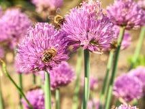Flores púrpuras ricas de la cebolleta en flor Crecimiento de flores púrpura de las cebolletas Foto de archivo libre de regalías