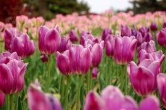 Flores púrpuras rojas Foto de archivo libre de regalías