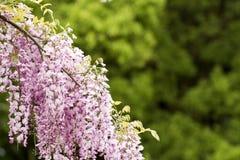 Flores púrpuras rojas de la glicinia Imágenes de archivo libres de regalías