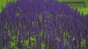 Flores púrpuras sabias almacen de video