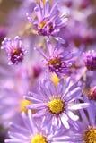 Flores púrpuras salvajes del echinacea en otoño por la mañana imagen de archivo