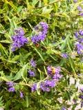 Flores púrpuras y abeja amarilla Imagenes de archivo