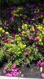 Flores púrpuras y amarillas Fotografía de archivo
