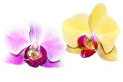 Flores púrpuras y amarillas de la orquídea foto de archivo