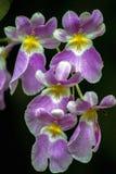 Flores púrpuras y amarillas de la orquídea del miltonia fotografía de archivo