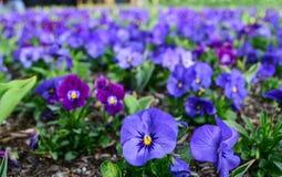 Flores púrpuras y azules en un jardín Imagenes de archivo
