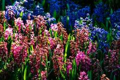 Flores púrpuras y azules hermosas en tiempo soleado en Holanda fotos de archivo libres de regalías
