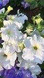 Flores púrpuras y blancas fotografía de archivo libre de regalías