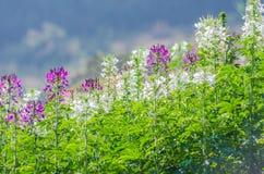 Flores púrpuras y blancas en el campo con el fondo borroso Imagen de archivo