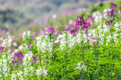 Flores púrpuras y blancas en el campo con el fondo borroso Foto de archivo