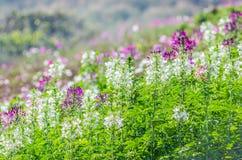 Flores púrpuras y blancas en el campo con el fondo borroso Foto de archivo libre de regalías