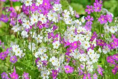 Flores púrpuras y blancas que florecen en jardín imágenes de archivo libres de regalías