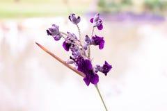 Flores púrpuras y blanco Imagenes de archivo
