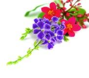 Flores púrpuras y rojas Aislado Foto de archivo libre de regalías