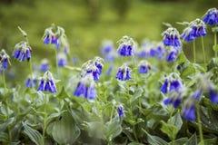 Flores p?rpuras de la belleza en las monta?as, Rusia foto de archivo