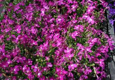 Flores p?rpuras del zafiro del Lobelia que se arrastran, Lobelia Erinus ?zafiro ? Tambi?n llam? a Edging Lobelia, Lobelia del jar imagen de archivo libre de regalías