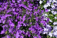 Flores p?rpuras del zafiro del Lobelia que se arrastran, Lobelia Erinus ?zafiro ? Tambi?n llam? a Edging Lobelia, Lobelia del jar foto de archivo