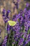 Flores p?rpuras florecientes de la lavanda e hierba verde en los prados o los campos Mariposa amarilla en verano tarde imagen de archivo