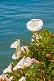 Flores pacíficas da glória da manhã imagem de stock
