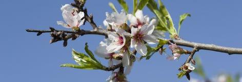 Flores panorámicas de las flores de cerezo de la primavera Flores blancas de la primavera en un árbol contra el cielo azul Foto de archivo