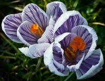 Flores para 2 Fotografia de Stock Royalty Free