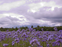 Flores para las abejas Imagenes de archivo