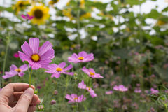 Flores para o fundo Imagens de Stock Royalty Free
