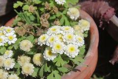 Flores para o fundo bonito Imagem de Stock