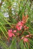 Flores parecidas a una araña rosadas en árbol espinoso Fotos de archivo