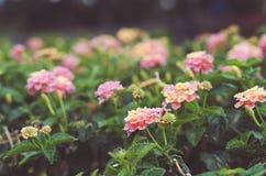 Flores pasteis Foto de Stock Royalty Free