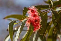 Flores peludas del eucalipto Foto de archivo libre de regalías