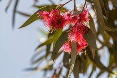 Flores peludas del eucalipto Imagen de archivo libre de regalías