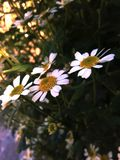 Flores pequeñas y delicadas de la manzanilla foto de archivo libre de regalías
