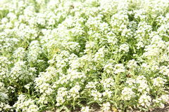 Flores pequenas Fotos de Stock Royalty Free
