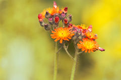 Flores pequenas alaranjadas em um fundo amarelo Foco seletivo Pilosella imagem de stock royalty free
