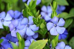Flores pequenas azuis Fotos de Stock