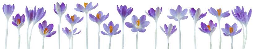 Flores pequenas bonitas do açafrão em seguido isoladas no branco Imagem de Stock