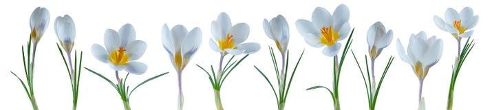 Flores pequenas bonitas do açafrão em seguido isoladas no branco Fotografia de Stock