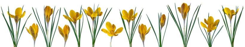 Flores pequenas bonitas do açafrão em seguido isoladas no branco Fotos de Stock Royalty Free