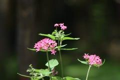 Flores pequenas bonitas no jardim Foto de Stock Royalty Free